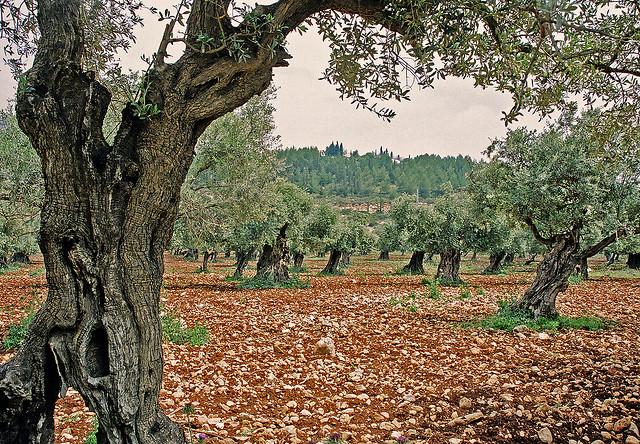 Das Geheimniss des Olivenöls